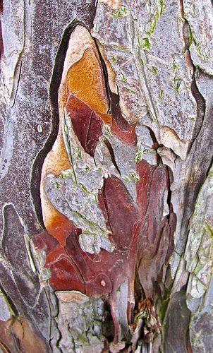 Yew Tree Bark by Anthony Falla