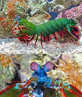 The Amazing Animal Kingdom Mantis Shrimp Beauty And The Beast Mantis Shrimp Animals Ocean Creatures