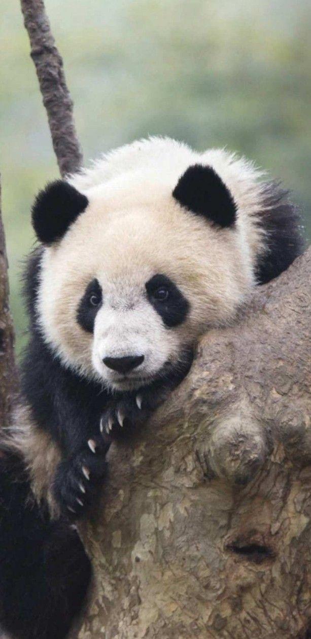 Pin Von Chantal Graffe Auf Marchen Goldlockchen Panda Bar Pandas Goldlockchen