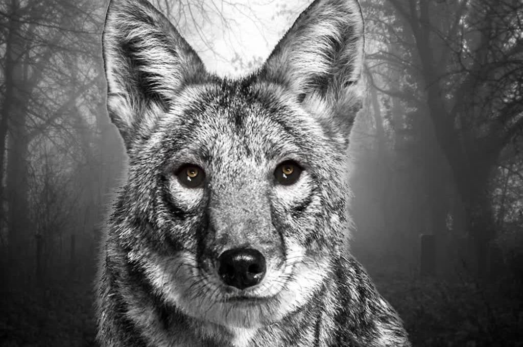 Coyote Barks and Howls SoundEffect Animation