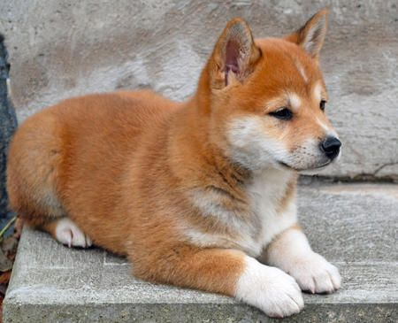 List Of The Oldest Dog Breed In The World Complete Furry Friends