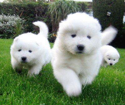 Cool Samoyed Chubby Adorable Dog - f4a76925009e943af360bb2b930e4365  Picture_271345  .jpg