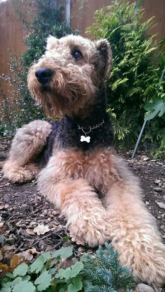 What a darling Airedale the best large breed dog ever