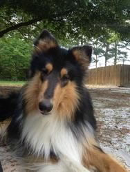 Adopt Malcolm On Sheep Dog Puppy Shetland Sheepdog Puppies
