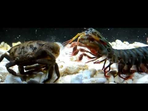 Giant Peacock Mantis Vs Giant Crabs - YouTube