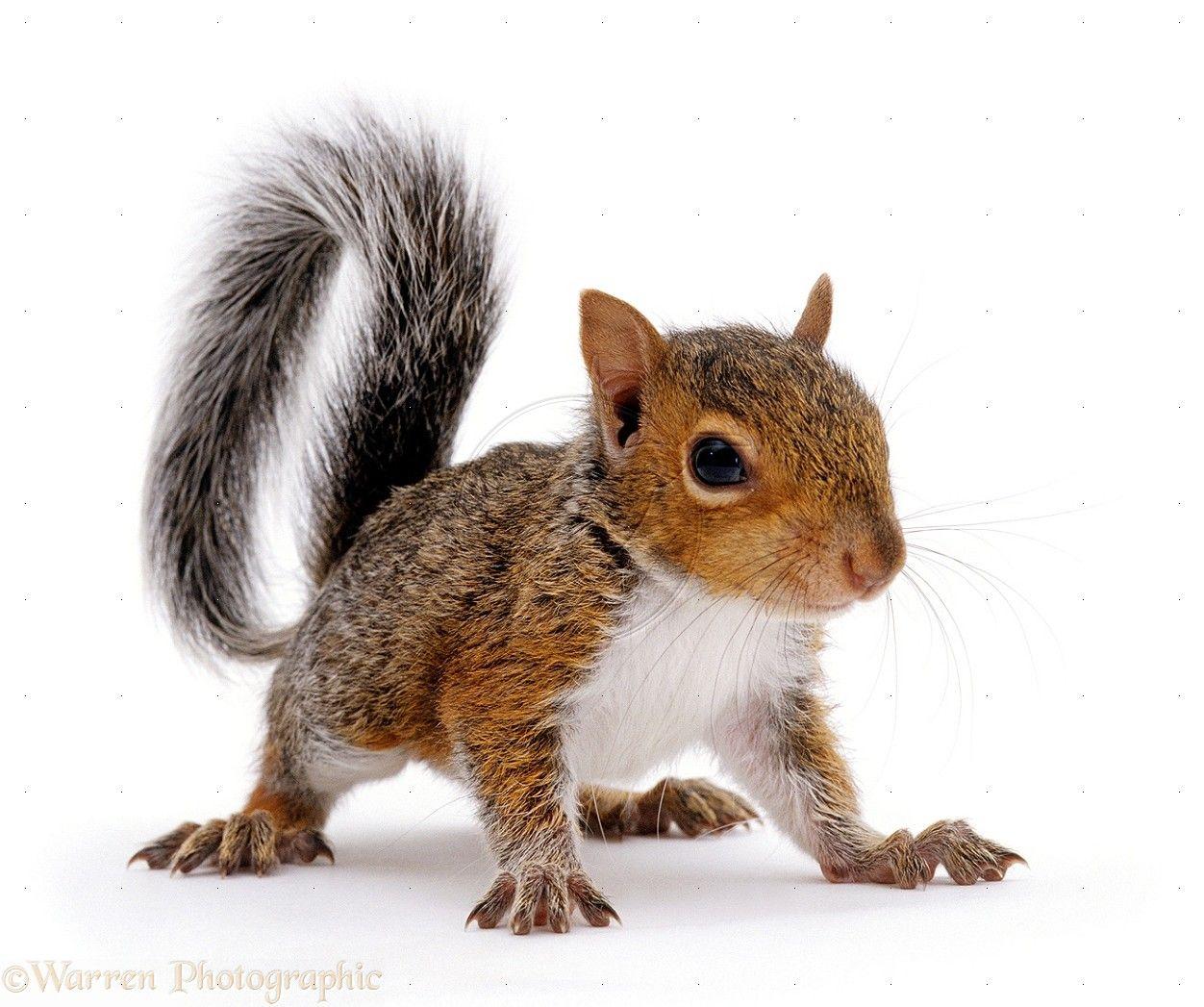 gray squirrel wallpaper - photo #21