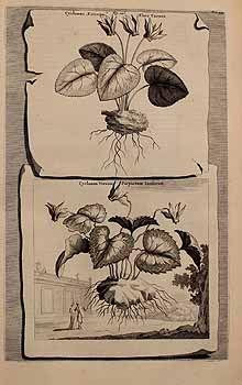 140753 1516-146-- [as Cyclamen vernum purpureum inodorum]  / Munting, A., Naauwkeurige beschrijving der aardgewassen, vol. 1: p. 534, t. 146 (1696)