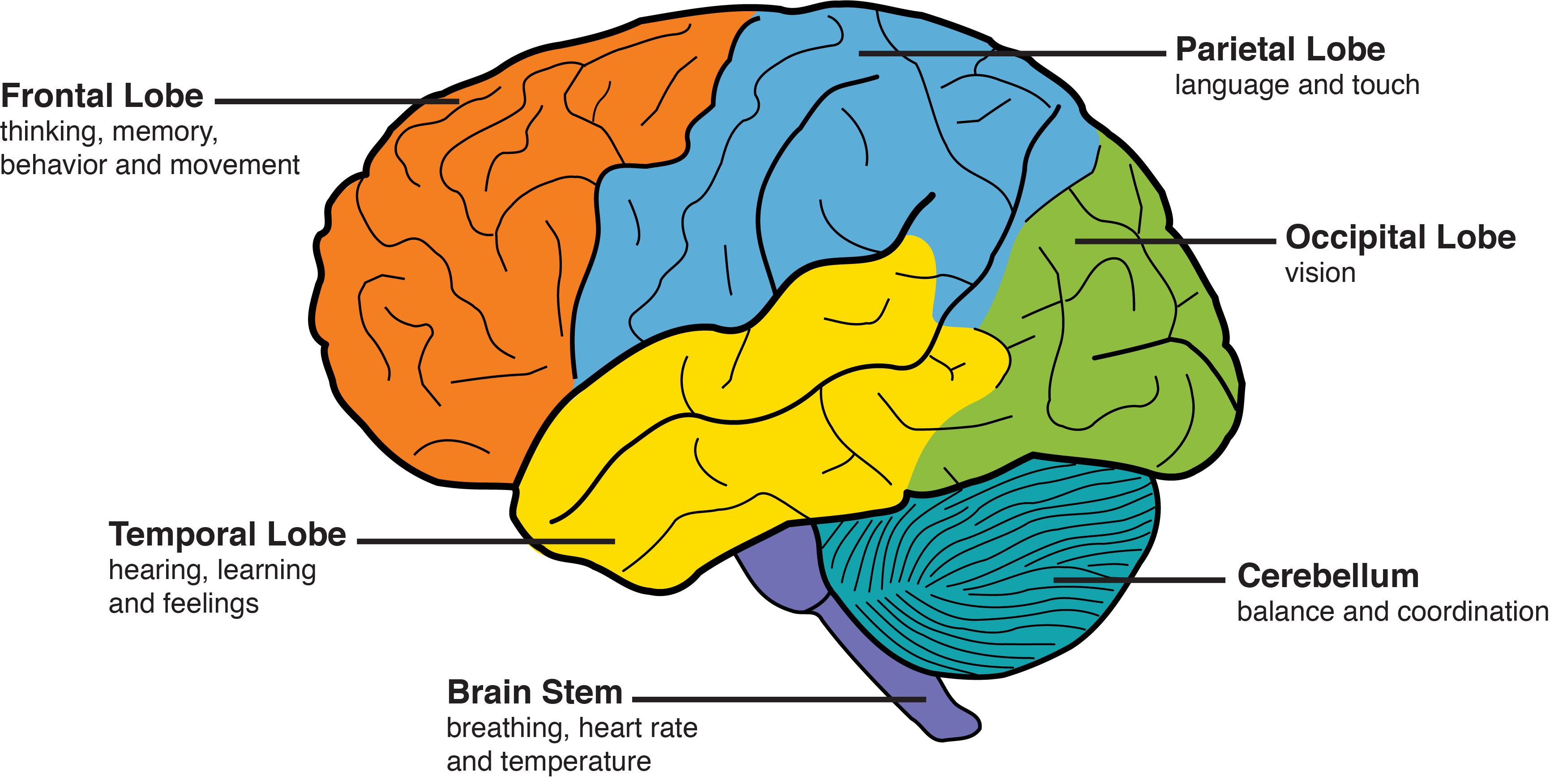 Areas Of The Brain Labeled With Their Major Functions Frontal Lobes Thinking Memory Behavior Movement Temporal Lobes Fight Dementia Dementia Frontal Lobe