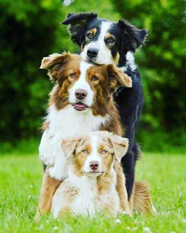 #dogs #bordercollie
