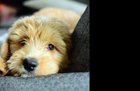 Golden Retriever Australian Shepherd And Poodle Mix He Sure Got