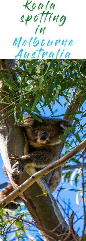 Best Tour To See Wild Koalas And Kangaroos In Melbourne Travel Destinations Australia Australia Tours Melbourne Travel