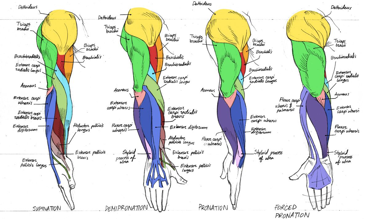Always Guilty., helpyoudraw: Anatomy - Human Arm... | AnatomY ...