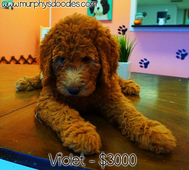 Best Labradoodle Chubby Adorable Dog - f4a94a5a349d1b6a906ace99408e771c  Gallery_61323  .jpg