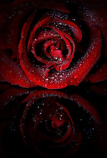 Wet By Sharon Hammond Red Roses Wallpaper Red Roses Beautiful Roses