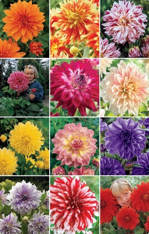 Other Dinnerplate Dahlias Bloom Where Youre Planted Beautiful Flowers Dahlia Flower