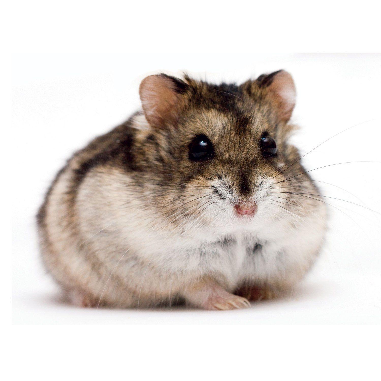 Dwarf Hamster Https Www Petco Com Shop En Petcostore Product Dwarf Hamster Hamster Breeds Dwarf Hamster Hamster Names