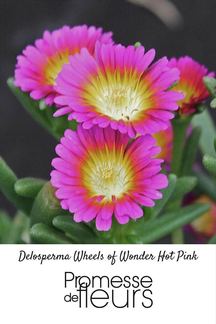 Ce Nouveau Delosperma Produit De Grandes Fleurs D Un Rose Chaud Et