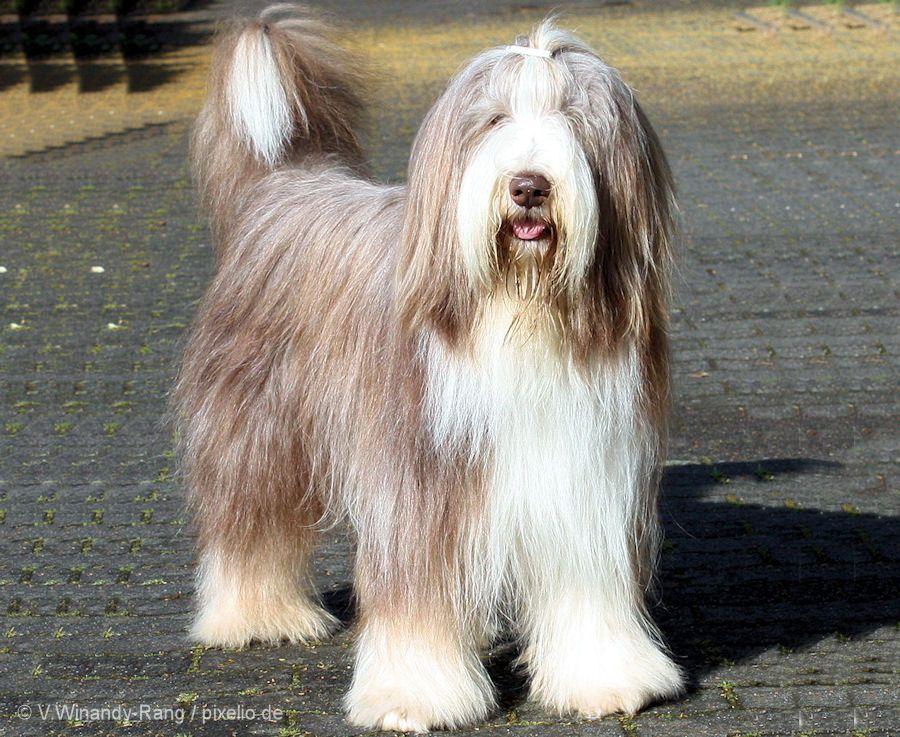 Bearded Collie Beardedcollie Hond Honden Hondenvanjehuisdier Huisdieren Hvjh Bearded Collie Bearded Collie Puppies Collie Breeds