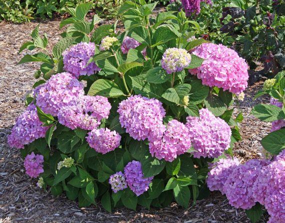 hydrangea endless summer pink gardening pinterest. Black Bedroom Furniture Sets. Home Design Ideas