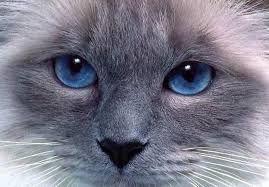 Resultado de imagem para olhos de gato