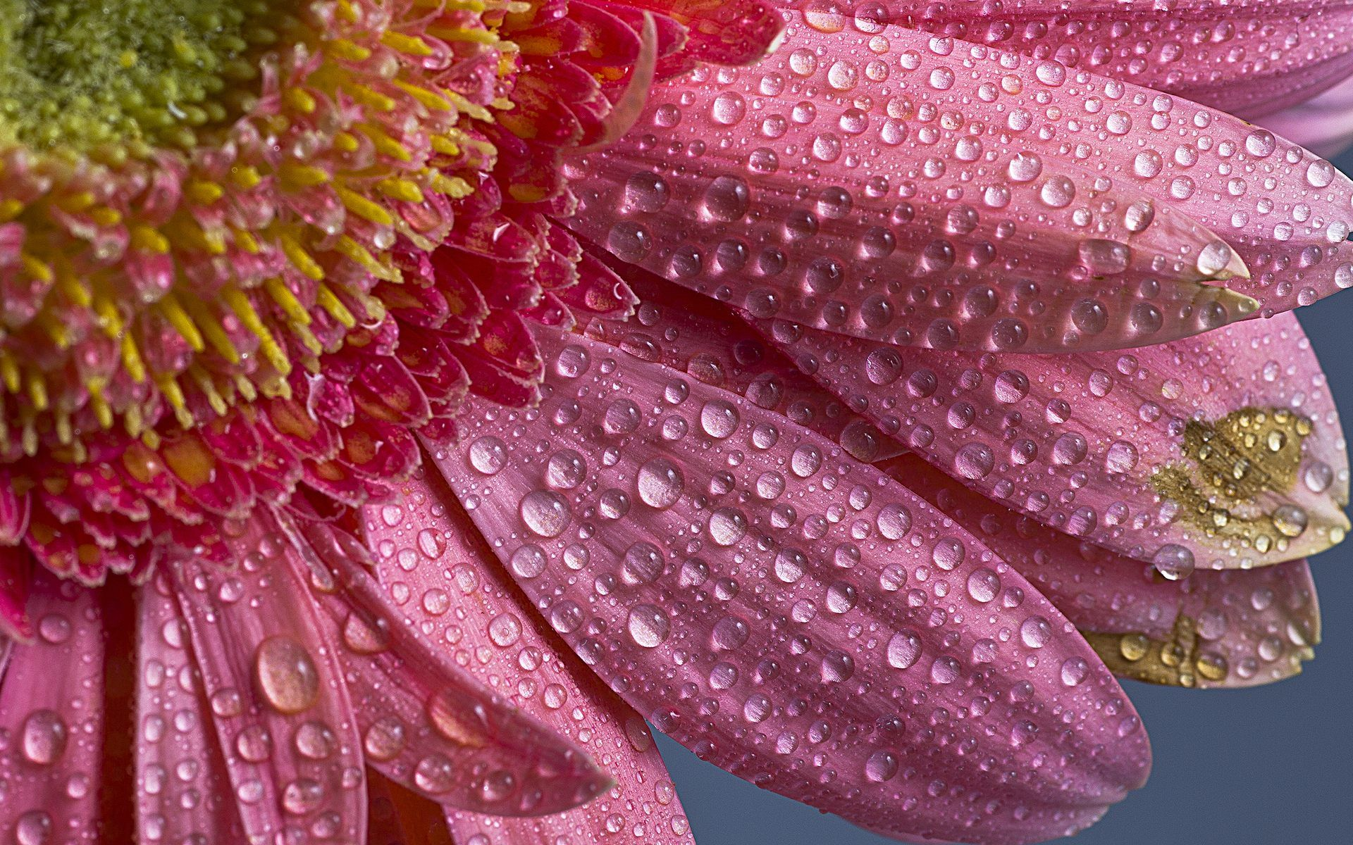 Rose water drops blue colour pictures beautiful flower rose art