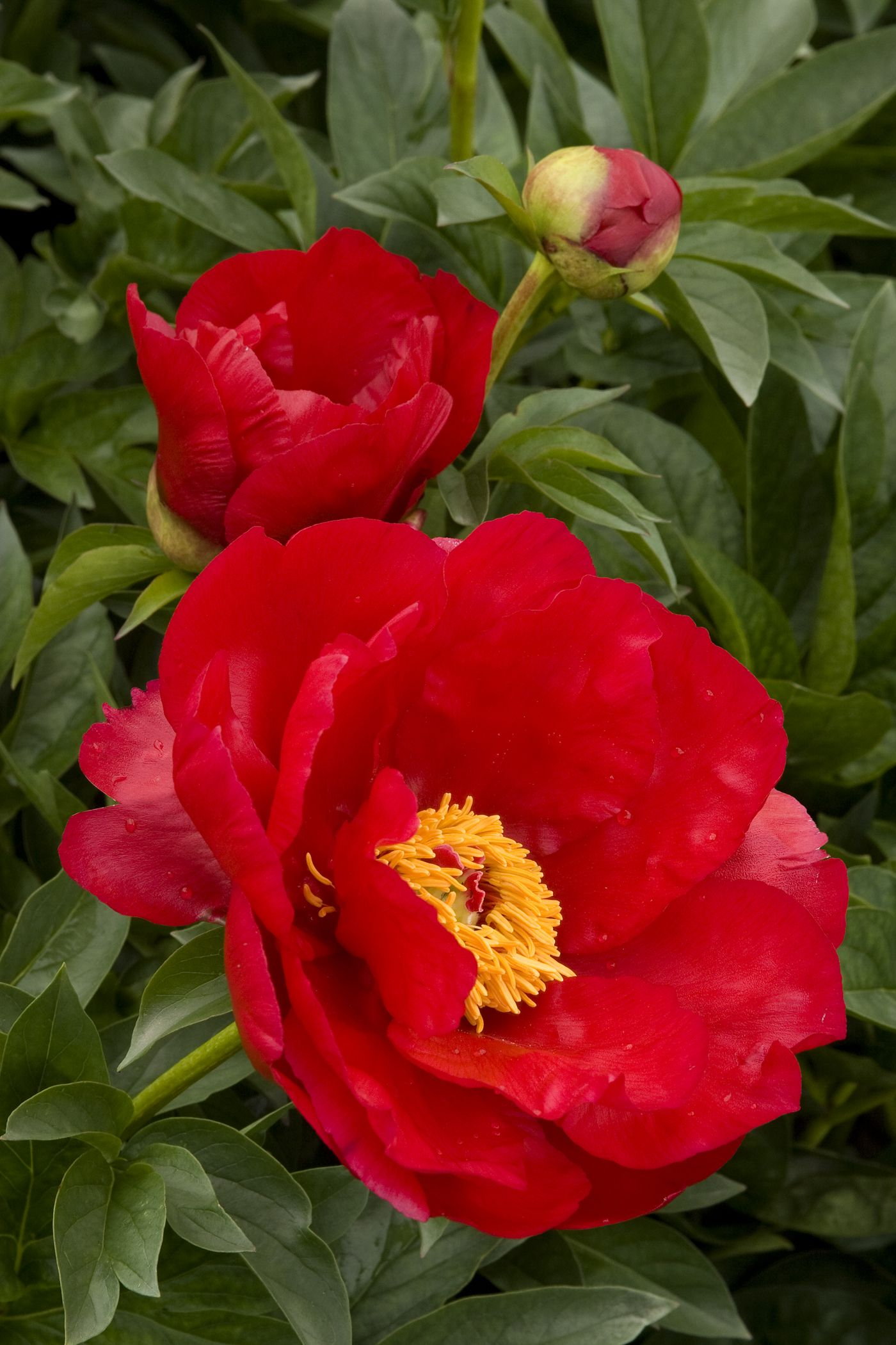 Bright red ruffled petals create a bowl around the bright yellow bright red ruffled petals create a bowl around the bright yellow center blooms are displayed on the erect stems of this clumping perennial mightylinksfo