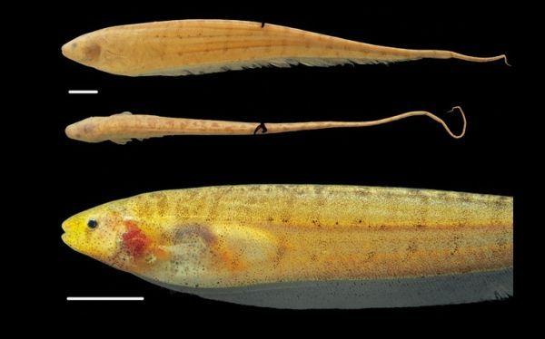"""DESCUBRIMIENTOS CIENTIFICOS (31 AGO 2013)            """"Descubren dos nuevas especies de peces eléctricos en la Amazonía de Brasil""""."""