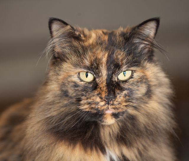 Tortoiseshell long hair look at that intelligent face could be kit from joe grey book series - Images of tortoiseshell cats ...