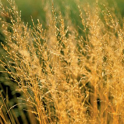 What to grow on the coast grasses hardy plants and plants for Hardy grasses for the garden