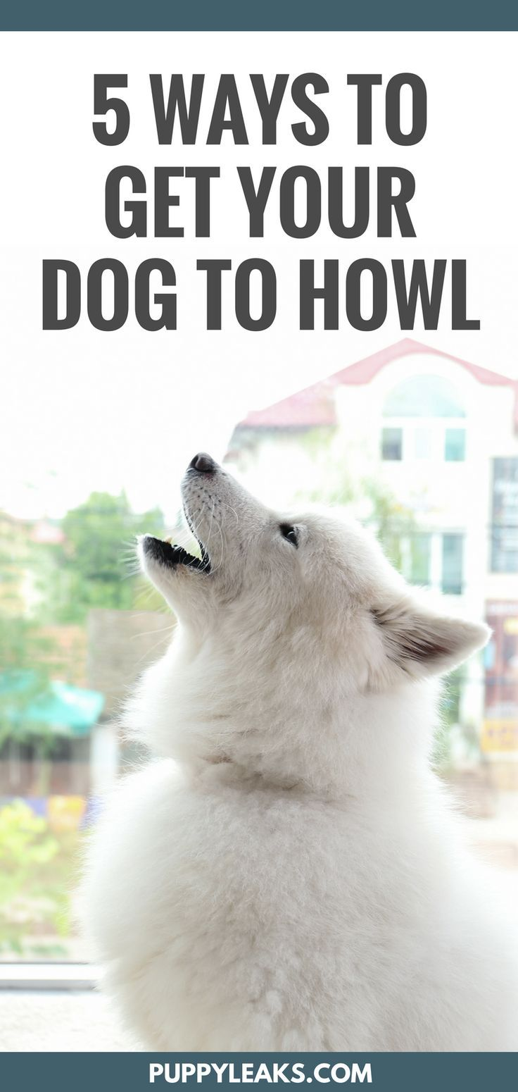 Dog howling 5 easy ways to make your dog howl