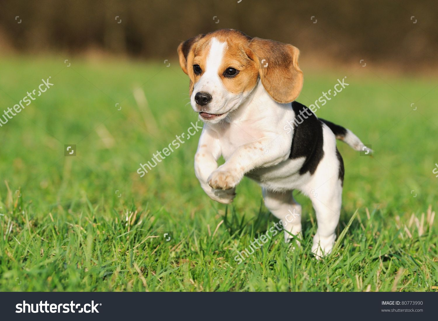 Cute Beagle Puppy 3 Months Running Happy Over The Meadow Stock