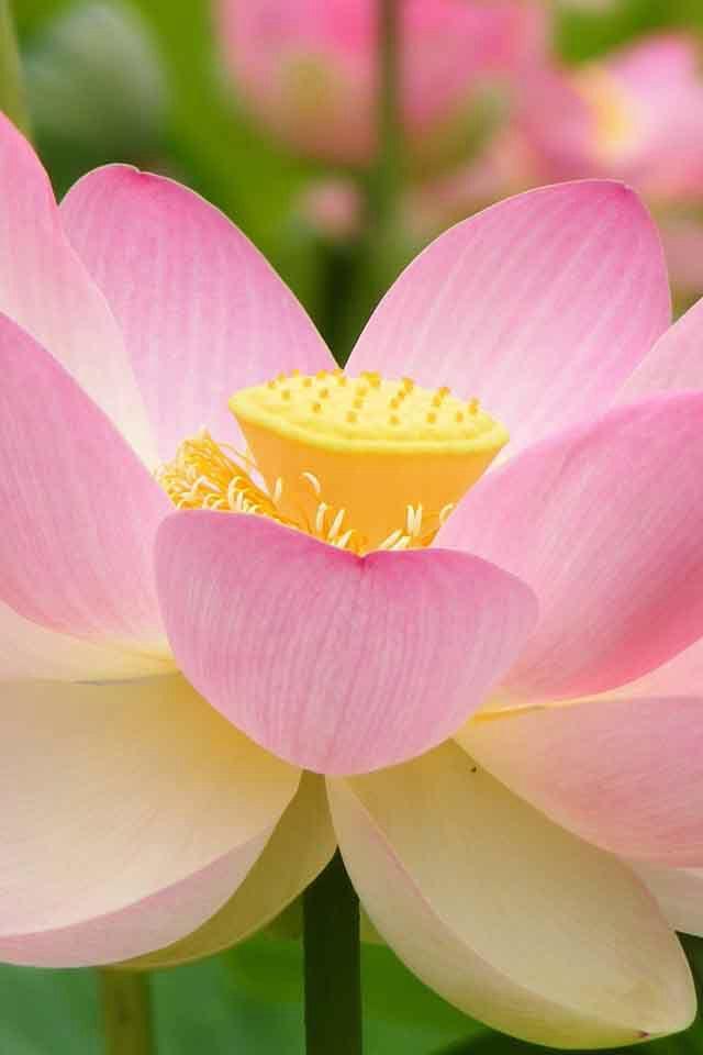 """"""" El Amor es una flor muy frágil...  Tiene que ser protegido... Tiene que ser reforzado...  Tiene que ser regado....  Sólo entonces se fortalece... """"   Osho"""