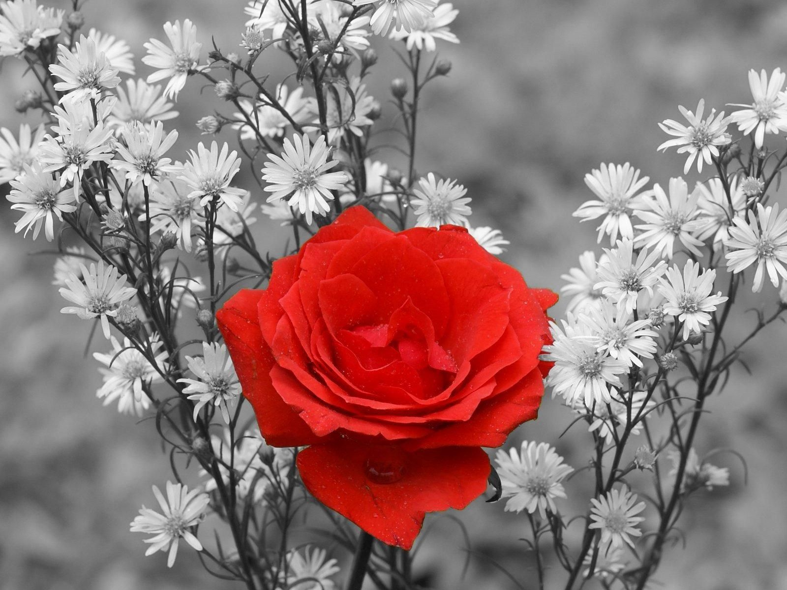 Red Rose Flower Black And White   High Quality Wallpaper