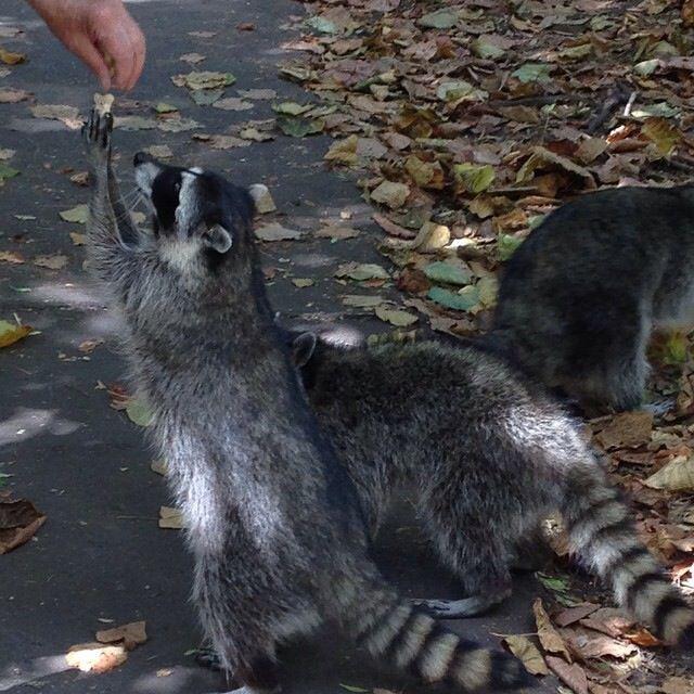 Raccoon love!!!