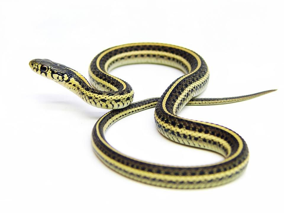 A juvenile western plains garter snake, Thamnophis radix haydeni. The snake ranges across a broad area of North America from as far north as central Alberta ...