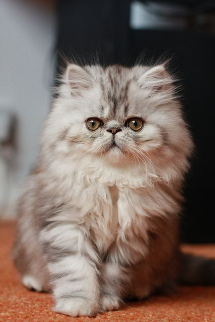 Fluffy kitty.