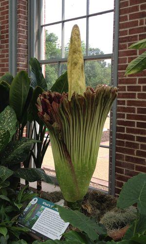 What S In Bloom Missouri Botanical Garden Bloom Corpse Flower