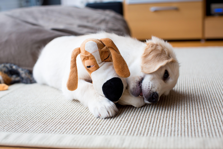Golden Retriever Puppy At Home Friendship Puppy Dog Pets Retriever Puppy Golden Retriever Puppy Puppies