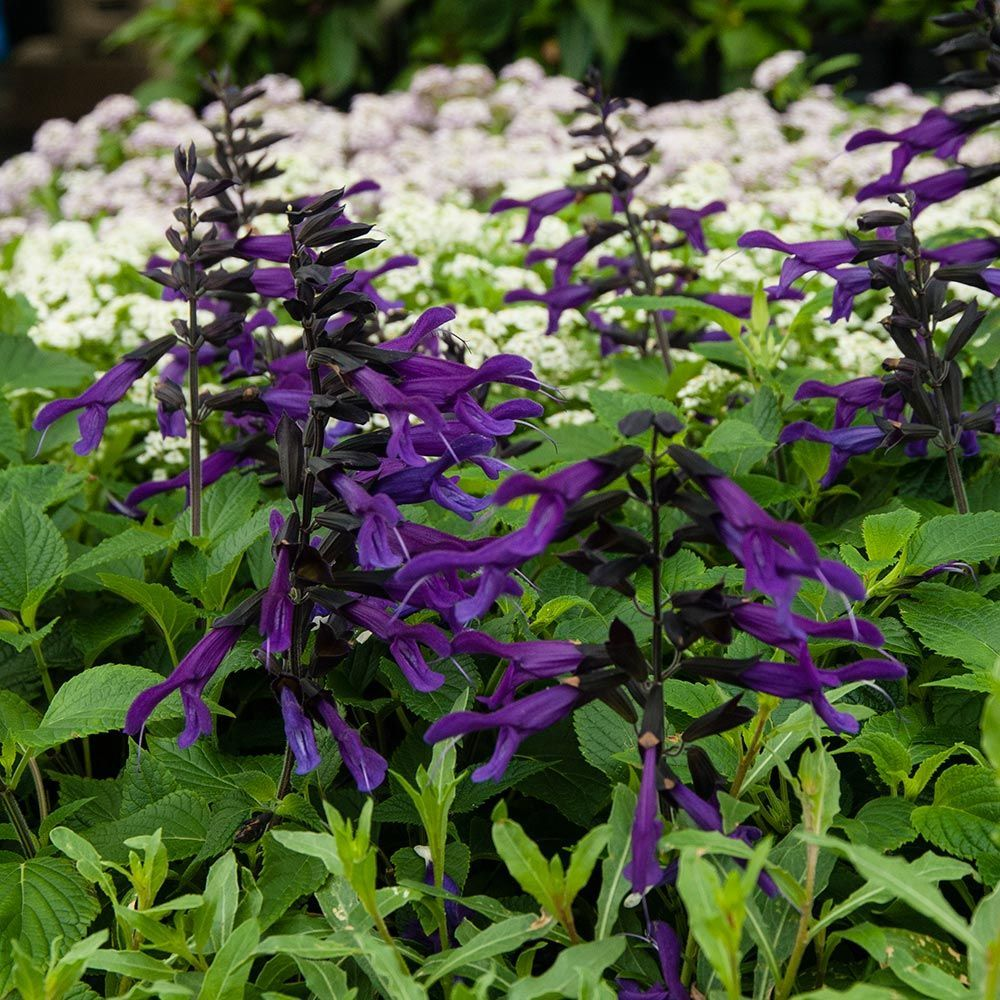 Salvia Amistad Wildflower Garden Plants Trees To Plant