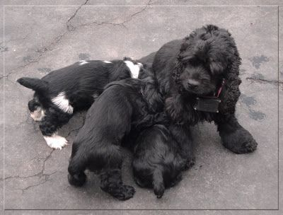 The Staffords: Cocker Spaniel Puppies