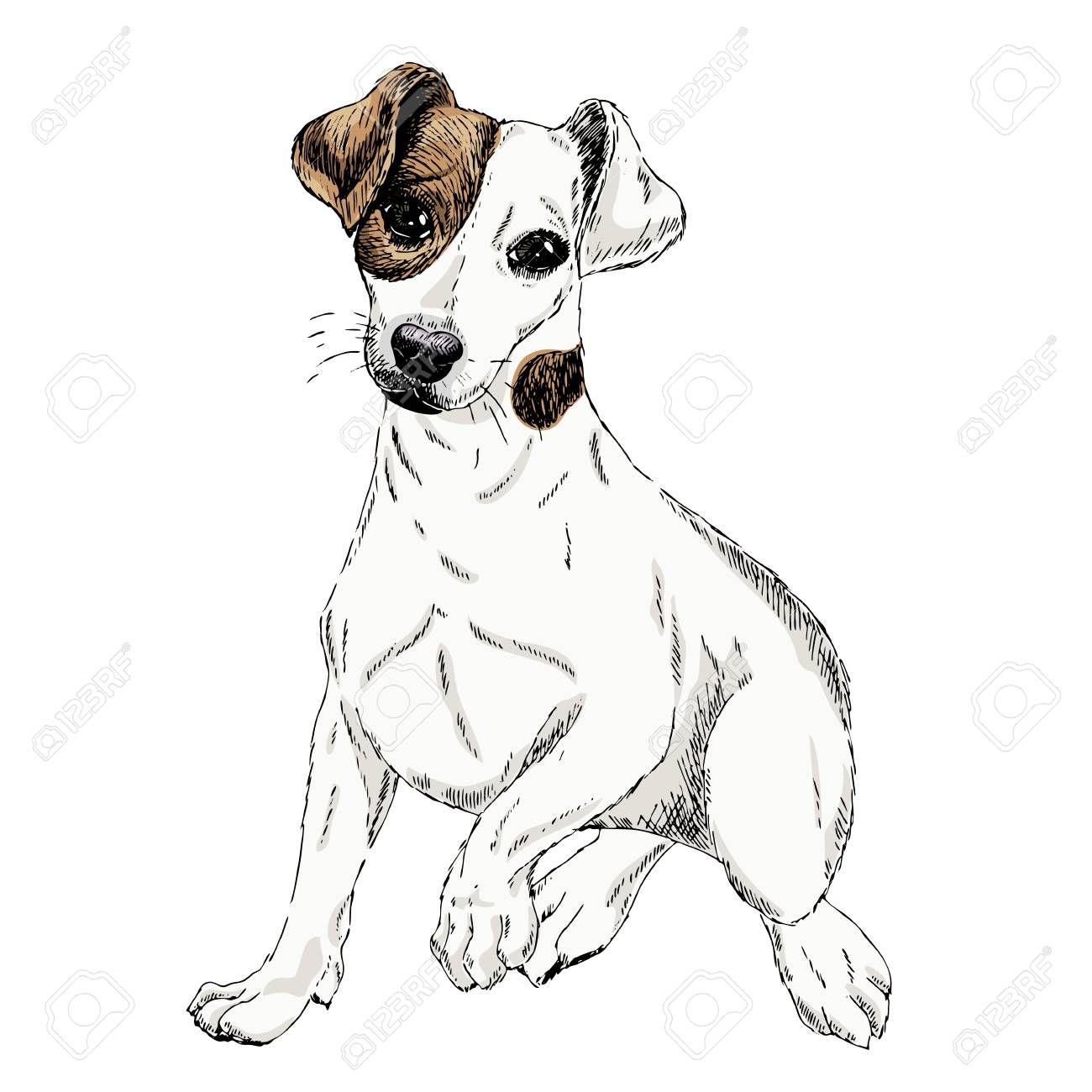 Portrait Of Jack Russel Terrier Dog Vector Colored