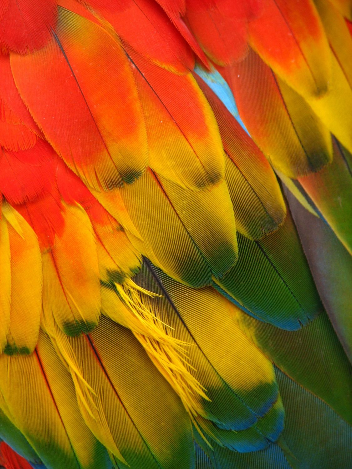 parrot wing