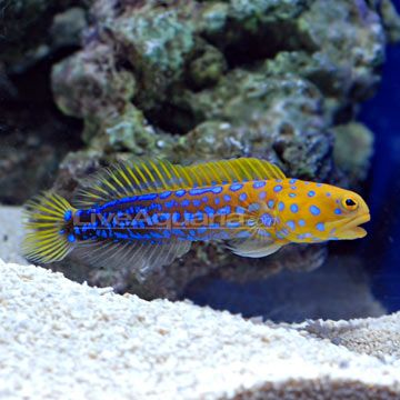 Google Image Result For Http Www Liveaquaria Com Images Categories Product P 86343 Jawfish Jpg Marine Fish Marine Aquarium Aquarium Fish