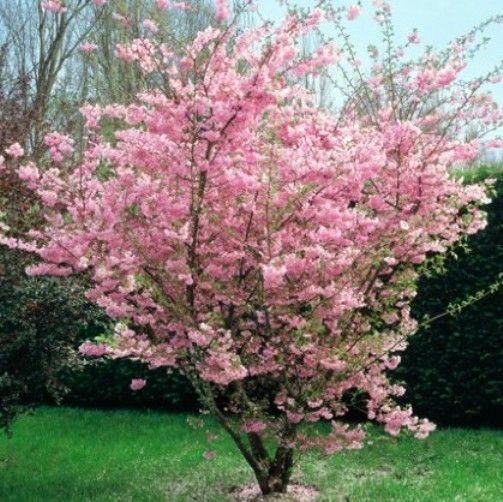 Prunus Accolade Vendita Piante Online Tuin Tuin Design Tuin Ideeen