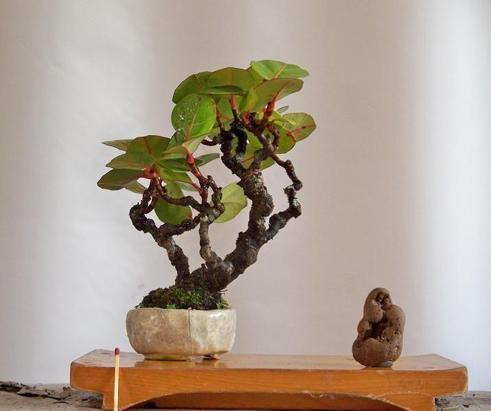 Sea Grape At Trinidad Tobago Bonsai Tree Bonsai Bonsai Styles