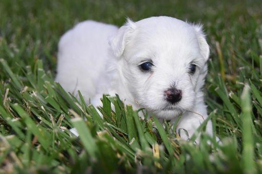 Coton De Tulear Puppy For Sale In Cincinnati Oh Adn 46956 On Puppyfinder Com Gender Female Age 4 We Coton De Tulear Puppy Coton De Tulear Puppies For Sale