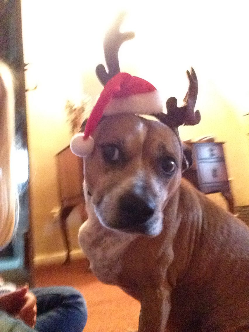 My adorable dog ready for Christmas x