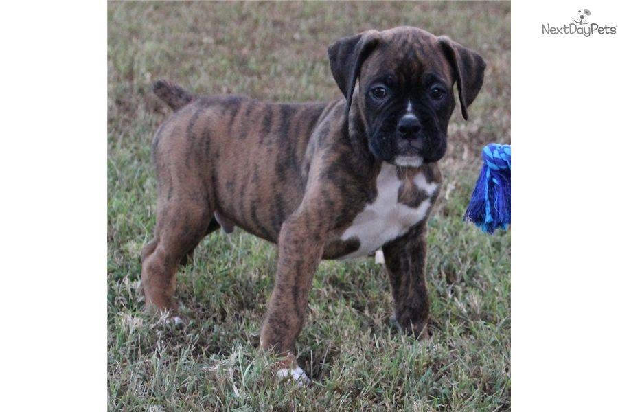 Levi Boxer puppy for sale near St Louis, Missouri
