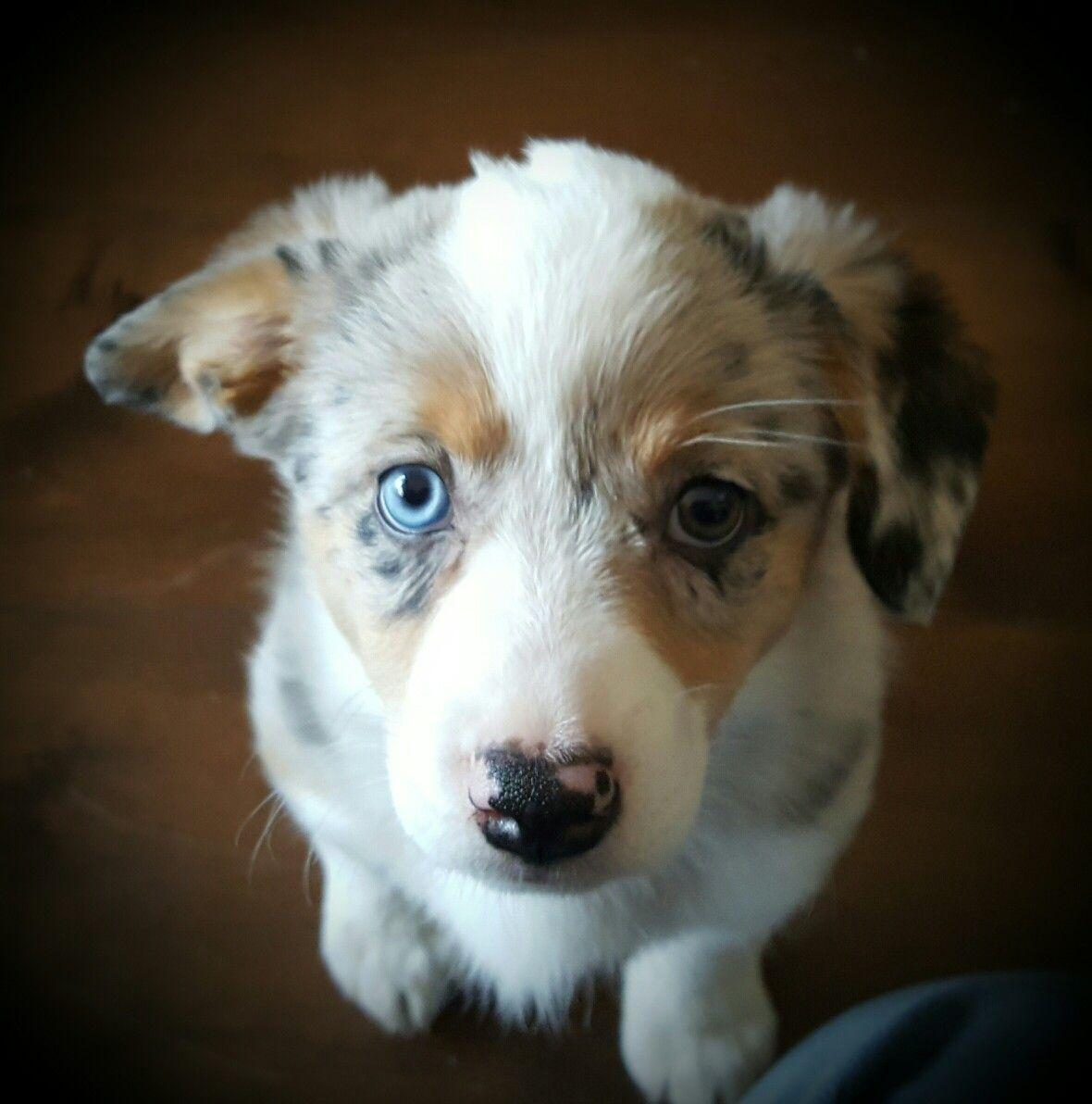 Augi Pup Aussie Corgi 2 Eye Colors Cutest Puppy Ever Corgi