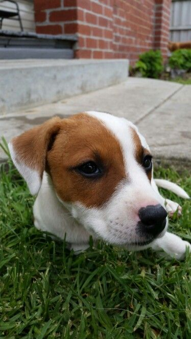 Jack Russell X Pups Rescued With Starting Over Dog Rescue Www